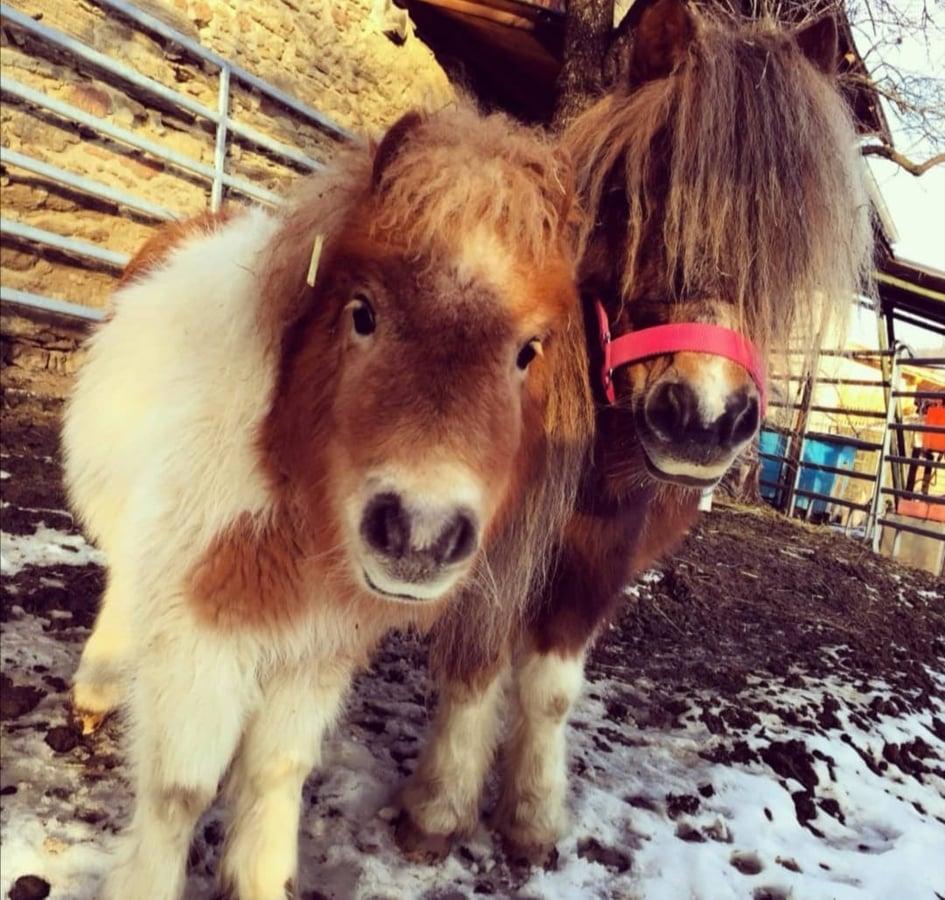 Zwei Ponys