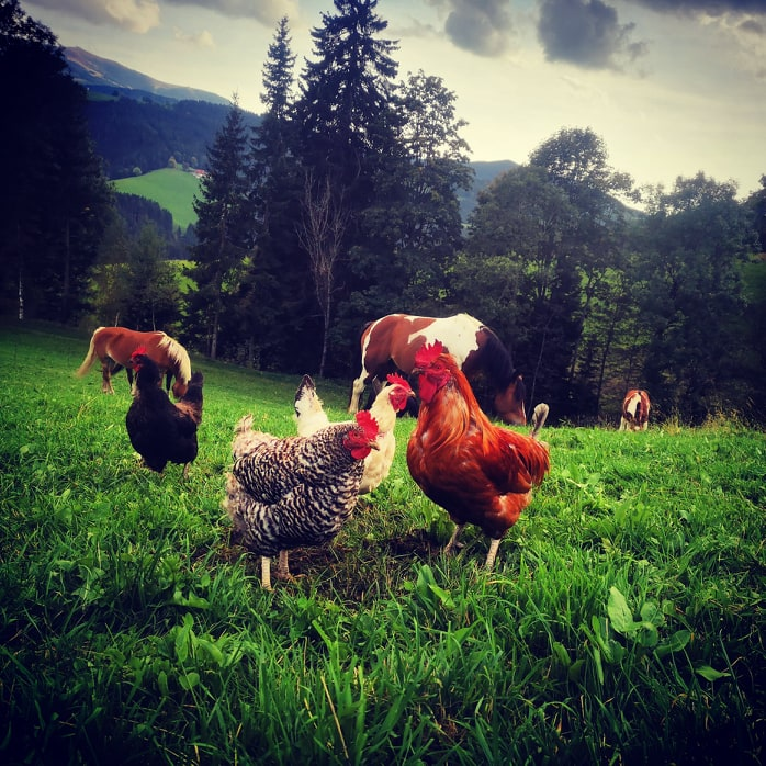 Tiere Vielfalt Pferde Hühner